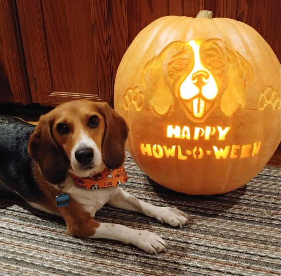Dennis the Beagle Pumpkin Contest