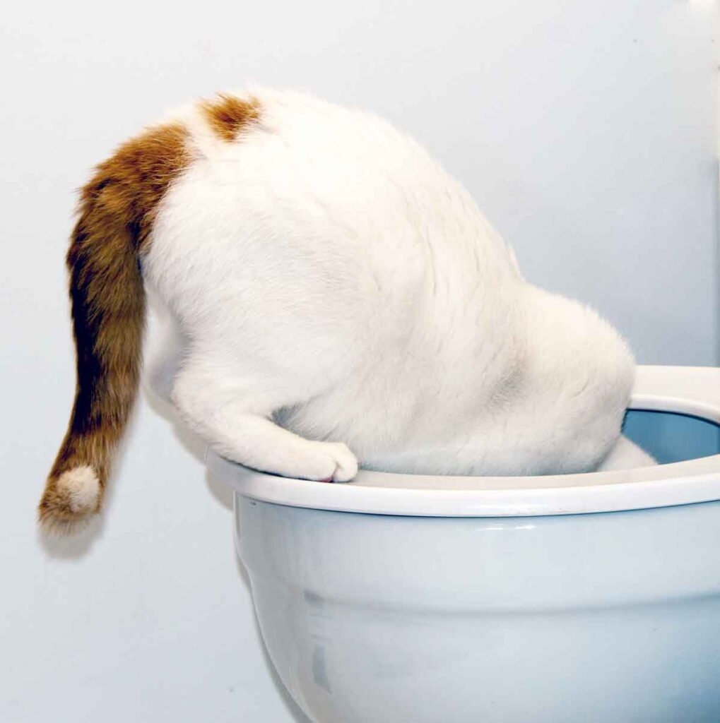 Cat Drinking From Toilet - Emancipet Low Cost Vet Clinics